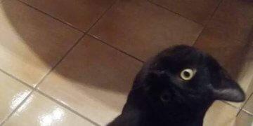 Cuándo naces gato pero te disfrazas de cuervo