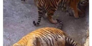despierta el tigre que hay en ti